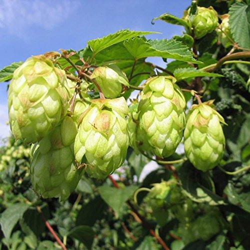 DaDago 100 Stück/Spack Hopfen Samen Humulus Lupulus Brauen Bier Pflanze Tee Kräuter Brauen Deutsch Magnum