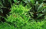*Tropica Aquarium Pflanze Pogostemon helferi Nr.053H Wasserpflanzen Aquarium Aquariumpflanzen