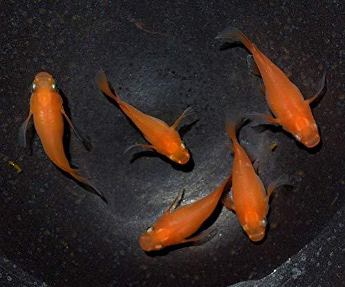 (生体) メダカ稚魚 楊貴妃ダルマの産んだ稚魚10匹 めだか 本州(山口県省)四国限定