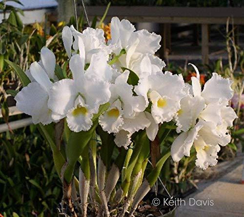 FERRY Bio-Saatgut Nicht nur Pflanzen: Flask: Cattleya Snowflake x Bob Betts 'Goliath' 2775 Orchidee Hybrid