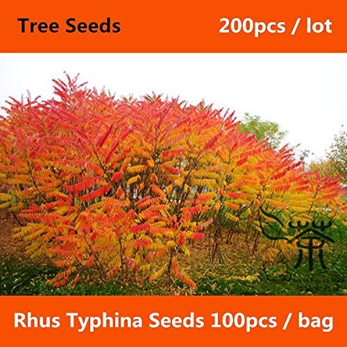 Schnell wachsende Rhus Typhina 200pcs, Starke Anpassungsfähigkeit Essigbaum, Blüten Stag & # 39; s