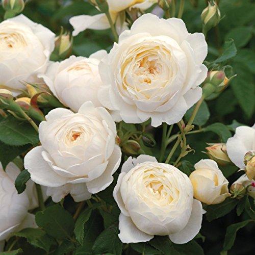 'Claire Austin' -R-, Englische Rose (David Austin) in A-Qualität Wurzelware