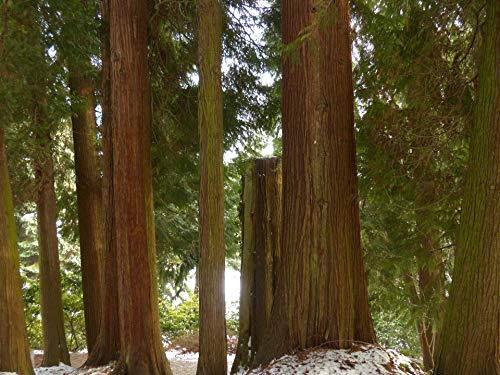 Riesenlebensbaum Thuja plicata 100 Samen