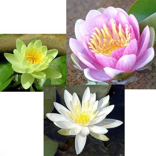 (ビオトープ)睡蓮 温帯性睡蓮(スイレン)3色セット 桃・黄・白(各1株ずつ) (休眠株)