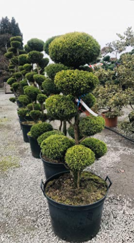 Bonsai, Gartenbonsai, Formpflanze, Zypresse, Chamaecyparis Plumosa Aurea, 12 Jahre Alt