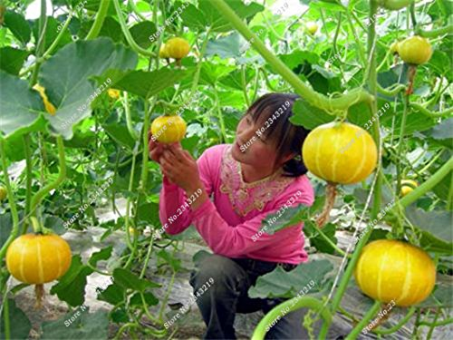 Graines de citrouille Cucurbita fil d'or fruits citrouille melon et légumes des semences meilleures ventes de l'extérieur, Bonsai 30 Plantes en pot 5 pièces