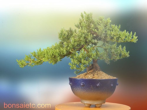 BEAUTIFUL 7+ Year Old Juniper Bonsai Tree in Handmade Blue Metallic Container