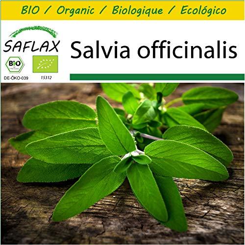 SAFLAX - Kit de culture - BIO - Sauge - 60 graines - Avec mini-serre, substrat de culture et 2 pots - Salvia officinalis