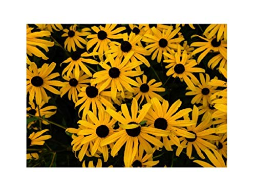 Stk - 1x Gewöhnlicher Sonnenhut Goldsturm - Topf Garten Pflanzen K-P52 - Seeds Plants Shop Samenbank Pfullingen Patrik Ipsa