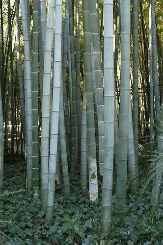 Phyllostachys pubescens - Bambou géant Moso – 30 graines