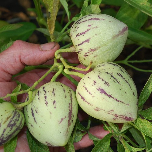 Plant World Seeds - Solanum Muricatum Seeds