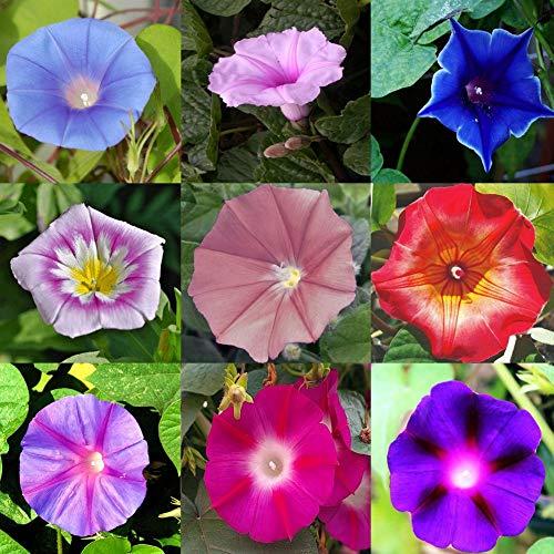 Rare 50 Seeds Heirloom Bonsai Big Petunia Beautiful Garden Flowers-Land Miracle