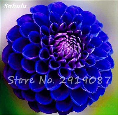 50 Pcs rares Graines Bonsai Dahlia (non Dahlia Bulbes) mixte en chinois Superbe fleurs Balcon Plante en pot Maison et Jardin 3