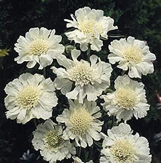 Scabiosa Caucasica Perfecta Alba Perennial Seeds