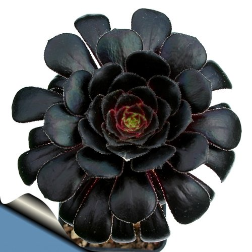 Black Rose Tree - Aeonium arboreum - RARE - Easy to grow! - 3' Pot