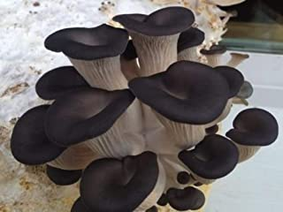 100 Black Oyster Mushroom Spawn Plugs/Dowels to Inoculate Logs or Stumps to Grow Gourmet and Medicinal Mushrooms - Grown Your Own Mushrooms for Years to Come - Makes a Perfect Gift or a Project