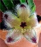 100pcs/Bag stapelia pulchella semi pelle di leopardo succulents lithops fiore piante Dimensioni: 100pcs/Bag Imballaggio: sacchetto di OPP imballaggio semplice Punte: 100% del vero seme, a seconda della specie, clima, geografia e altri fattori, ci sa...