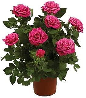 Parade Tena Miniature Rose Bush - Fragrant/Hardy - 4