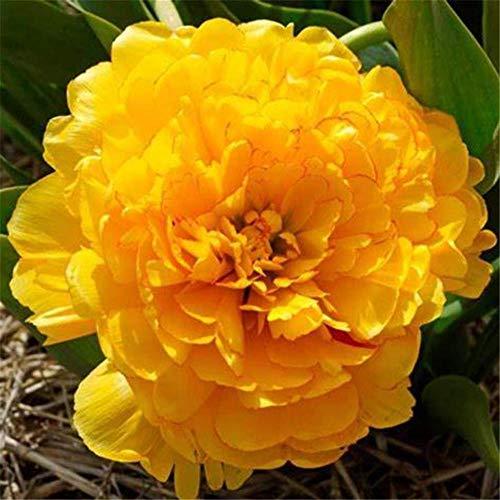 La peonia,Giardinaggio Fiori Regali Specie Rare Esotiche Perenni Speciali-2 bulbi
