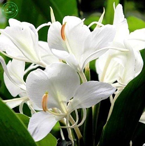 20 pcs/sac, graines Canna, graines en pot, graines de fleurs, variété complète, le taux de 95% en herbe, (couleurs blanches) f58