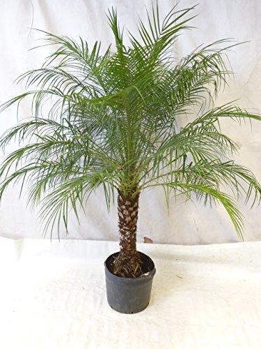 [Palmenlager] Phoenix roebelenii Zwergdattelpalme 180-200 cm/Stamm 60-70 cm/Zimmerpalme