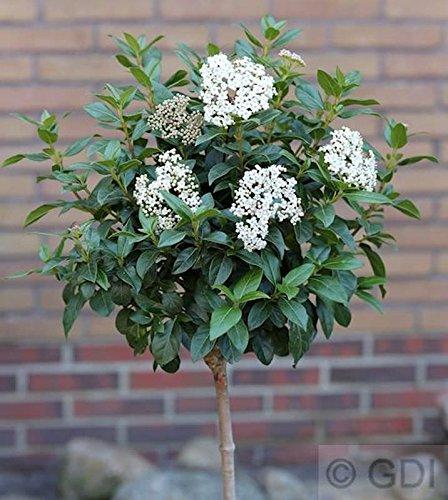 Hochstamm Mittelmeer Schneeball 60-80cm - Viburnum tinus