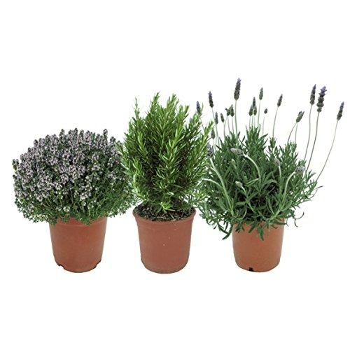 Plantas Aromáticas Mediterráneas: 1 Lavanda + 1 Romero + 1 Tomillo Plantas Naturales en Maceta