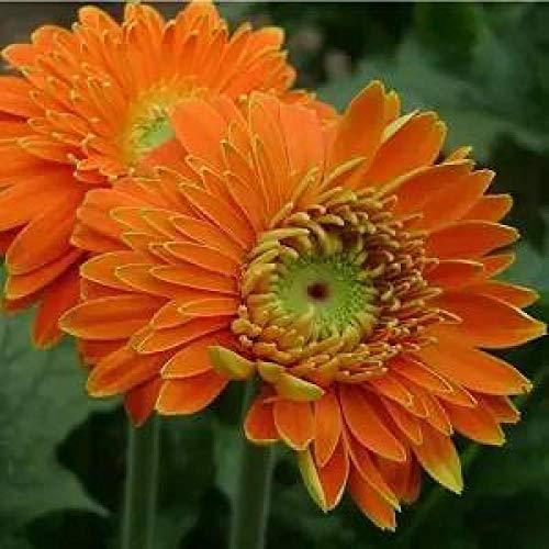 B/H Semillas de Flores perennes,100pcs Cuatro Estaciones fáciles de Plantar Semillas de Gerbera para jardín balcón-E_100pcs,Maceta para Plantas de jardín/Interiores