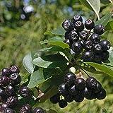 Aronia melanocarpa Nero schwarze Apfelbeere Vitaminreich Aroniabeere Busch 40-60 cm