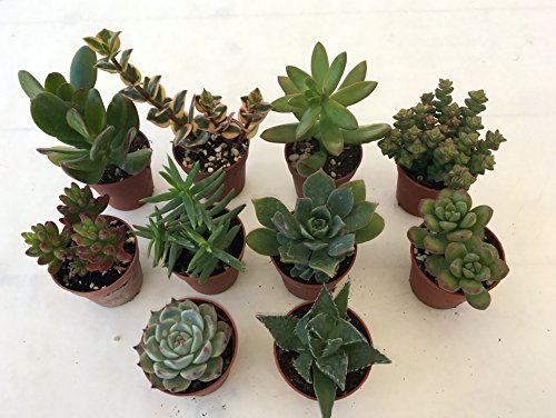 Piante grasse vere assortite set N. 10 in vaso cm. 5,5 tutte succulente (senza spine). Foto indicativa