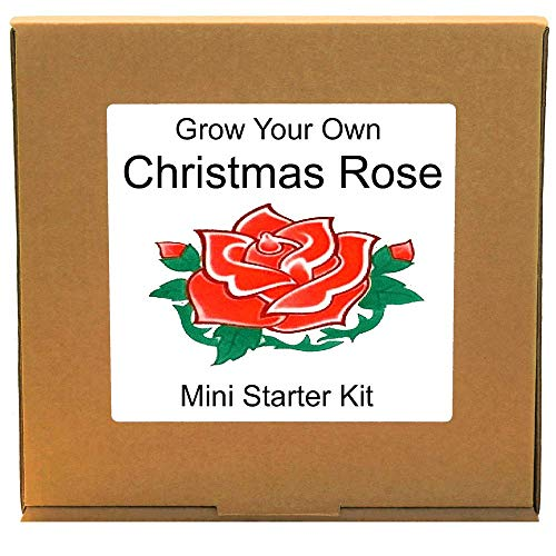 Grow Your Own Christmas Rose Plant Kit – Unusual, Unique and Quirky Complete Beginner Friendly Indoor Gardening Gift for Men, Women or Children
