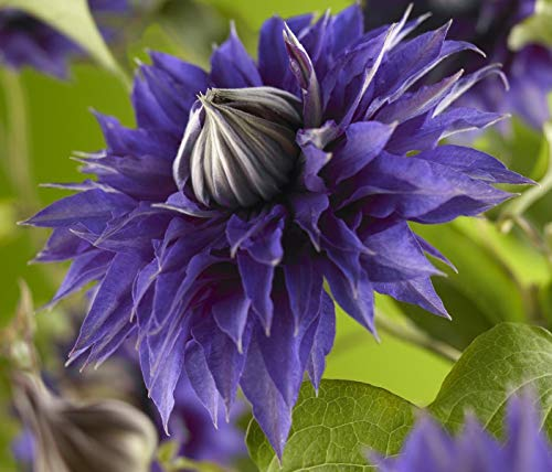 Waldrebe Clematis Multi Blue 60-80 cm Kletterpflanze