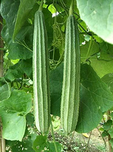 Luffa Gourd Sponge Seeds Heirloom Non GMO (20)