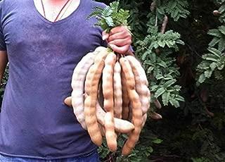 HOT!! - Best Jumbo Tamarind TAMARINDUS Indica 10 Seeds