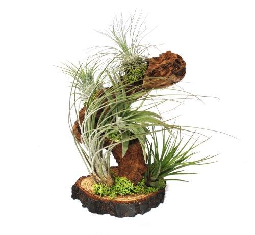 Tillandsias sur les plantes racine arbre - big - 5