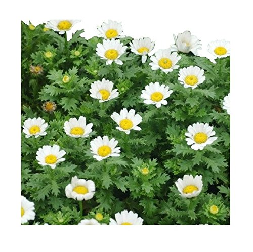 6000 Creeping Daisy Seeds - Annual, Full Sun Daisy