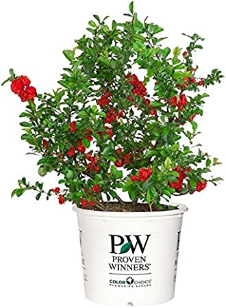Shrub scarlet// thornless Chaenomeles Double Take Scarlet Proven Winners Size Container Quince #2
