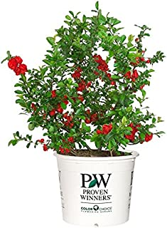 Proven Winners - Chaenomeles Double Take Scarlet (Quince) Shrub, scarlet/ thornless, #2 - Size Container