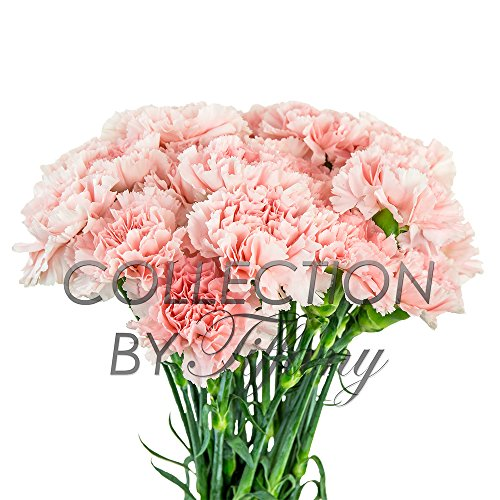 Fresh Flowers Carnation for Garland l Floral Arrangement for Any Occasion l Long Lasting l 20 Stems per Bunch(Light Pink)