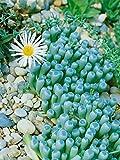 Yukio Samenhaus - 100pcs Rarität Lebende Steine Sukkulente Mischung, Kieselsteine Zimmerpflanze pflegeleicht Blumensamen winterhart mehrjährig