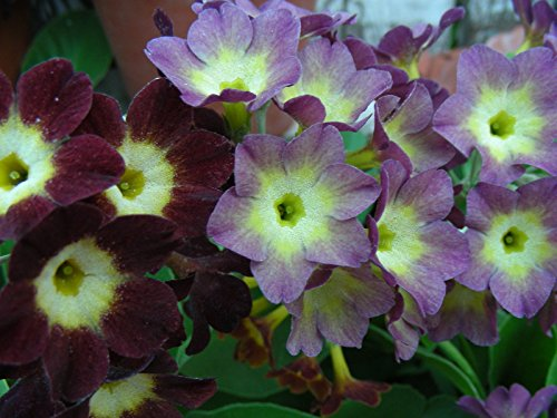 Portal Cool Garten oder Border Aurikel (Primula Hybrid) Samen: Primrose Pfad Mix