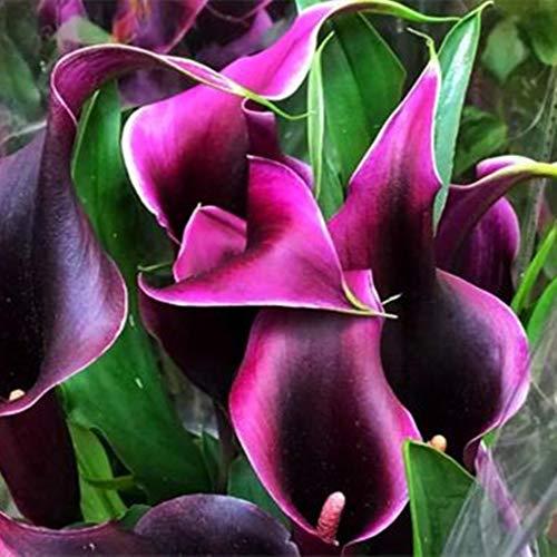Gartenblumen,Calla zwiebeln winterhart,Seltene Pflanzen,Hochzeitsblumen häufig verwendet,Calla Zwiebeln-5 Zwiebeln