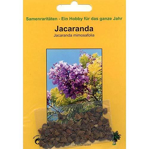 TROPICA - Jacaranda blu (Jacaranda mimosafolia) - 20 Semi- Mediterraneo