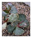 Sementi importate: 1 set di pacchetti Inamoenus adromischus - crassulaceae - 15 semi Questo tipo di coltivazione è molto facile L'immagine è solo di riferimento