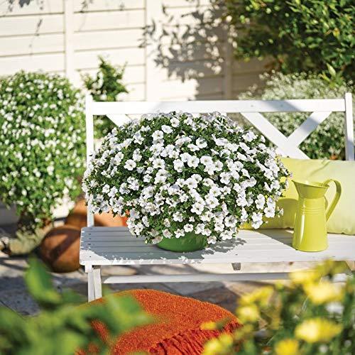 Pflanzen Kölle Zauberglöckchen, weiß, 6er-Set, Topf 12 cm Ø