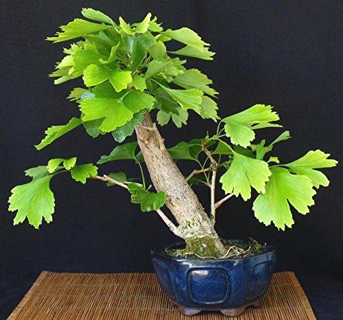 Heirloom organiques 5 pcs / sac graines Ginkgo biloba gingko Maidenhair NOIX Bonsaï cultivées de pot de semences pour le jardin de la maison 4