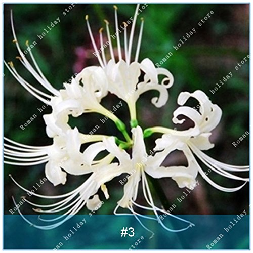 ZLKING 2 ampoules Lycoris Plante en pot Lycoris Radiata Graines de fleurs vivaces Jardiner Planter Mix Couleurs jardin blanc