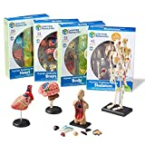 This miniature set measures, when assembled - Heart Model 5 inches, Brain Model 3 3/4 inches, Body Model 4 1/2 inches, Skeleton Model 9.2 inches Set of four Anatomy Models Gain a deeper understanding of how organs and systems interact by manipulating...