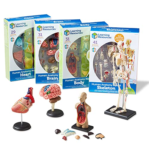 Learning Resources Anatomy Models Bundle Set, Brain, Body, Heart, Skeleton, Classroom Demonstration Tools, Teacher Accessories, Grades 8+, Ages 3+