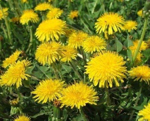 Gewöhnlicher Löwenzahn - Taraxacum officinale - Dandelion - 1000 Samen